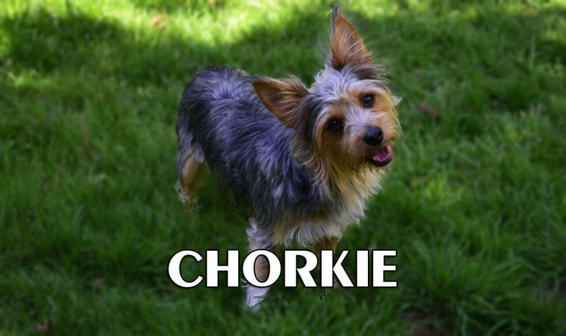 Chorkie adults