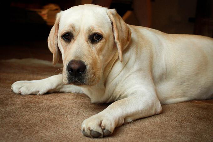 Labrador Images