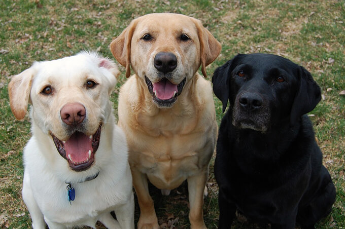Labrador Retriever Photos