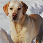 Most Glorious Images of Labrador | Download Beautiful Labrador pictures