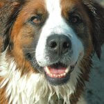 Looking To Adopt A Saint Bernese? Learn All About Them Here!