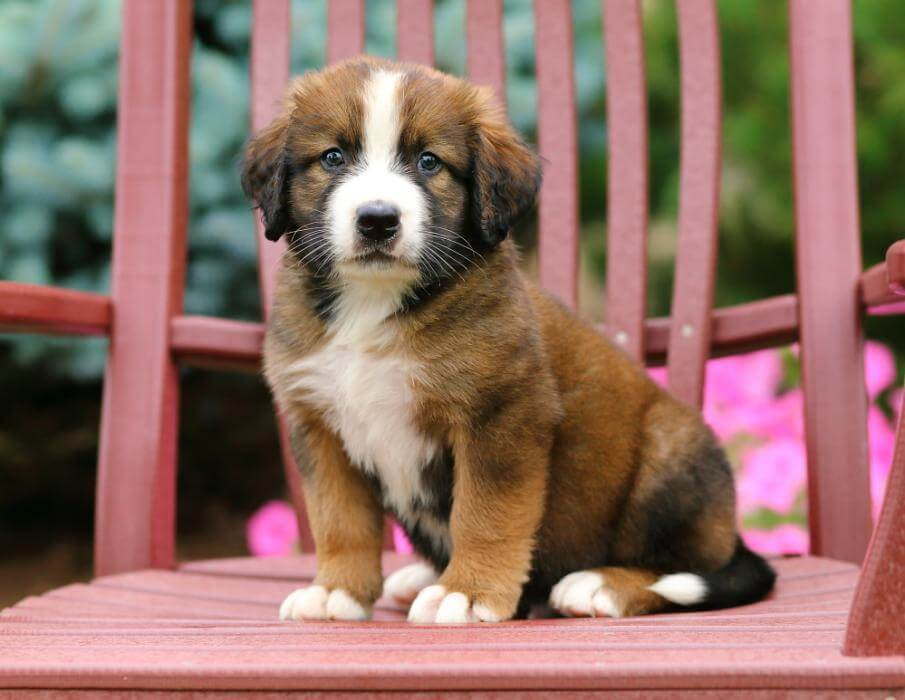 bernese-puppy