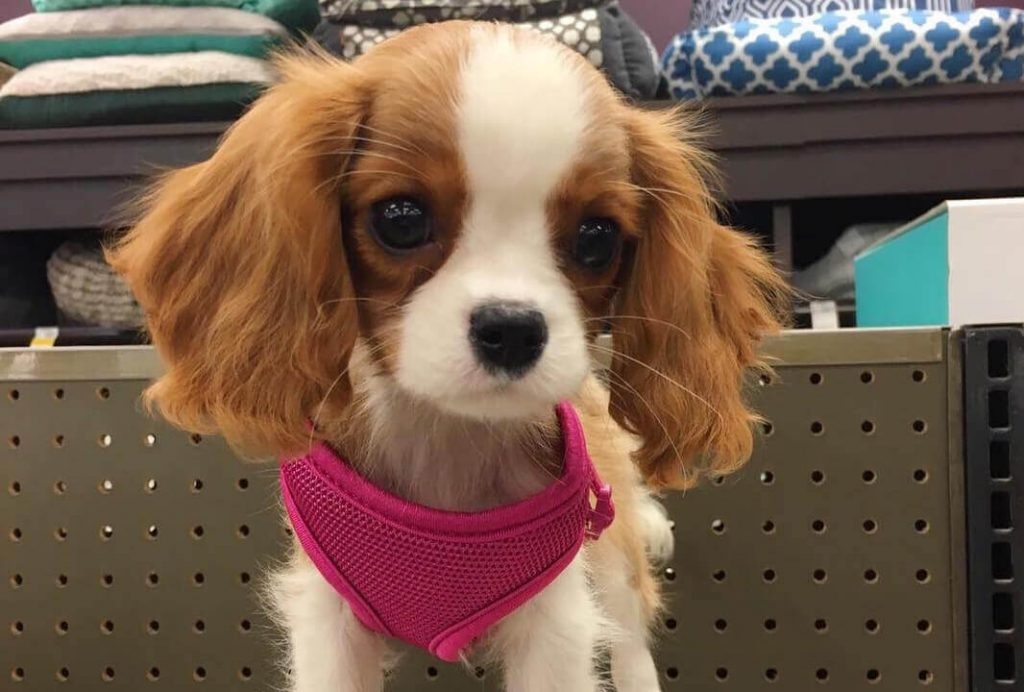 cutest cavalier king
