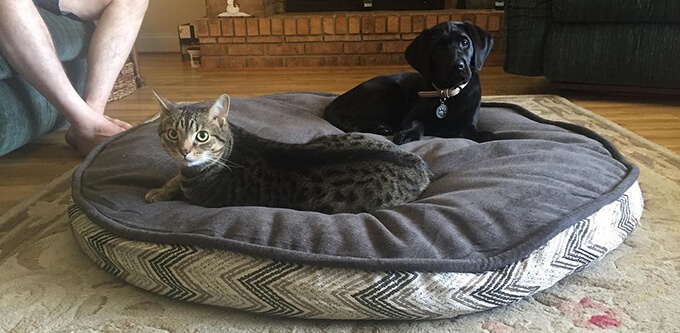 Cat Friendly Labrador