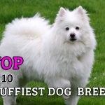 The Top 10 Fluffiest Dog Breeds That Ever Floofed