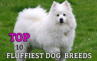 fluffiest dog breeds