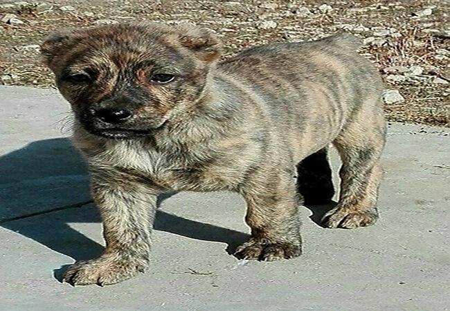 sardo puppy