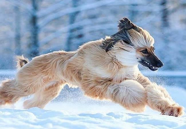 Afghan hound image
