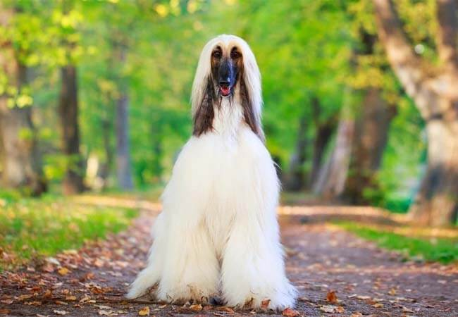 Afghan hound photo