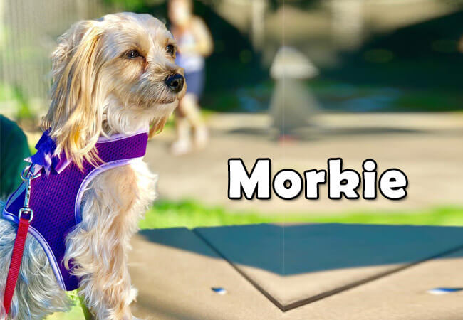 morkie photo