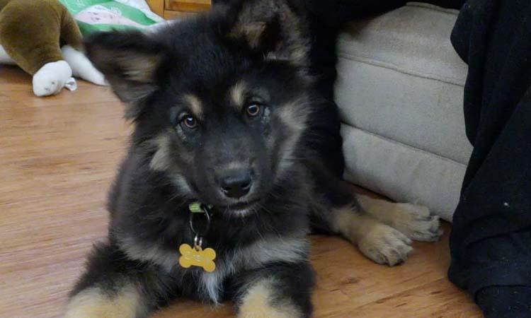 Alaskan shepherd puppy