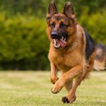 Top 10 Benefits Of Having A German Shepherd