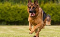 german shepherd benefits