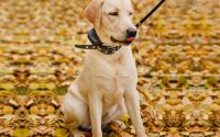 train your dog with a dog shock collar