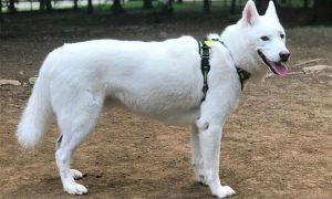 White Husky (Aka White Siberian Husky)
