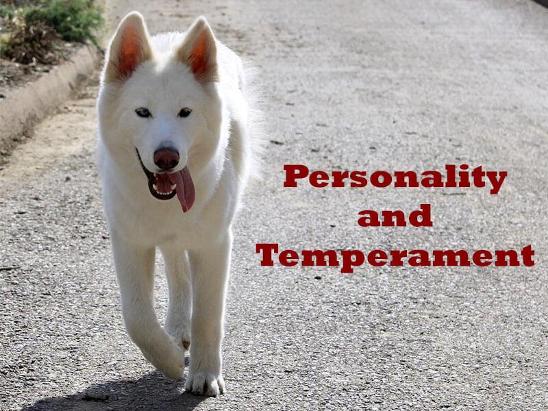 husky personality temperament