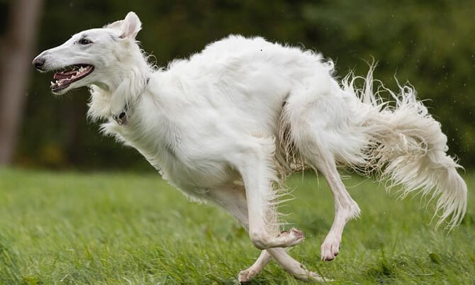 Borzoi fastes dog photo