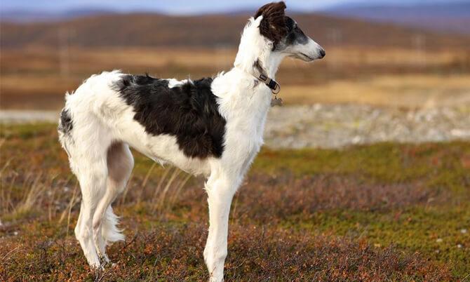 russian wolf dog