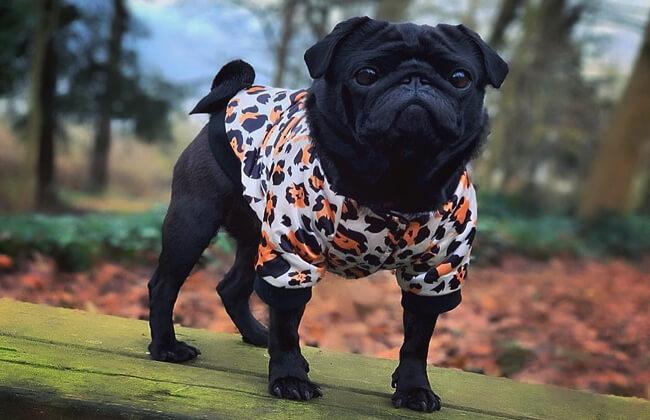 Black pug photo
