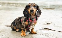Dapple Dachshund Photo