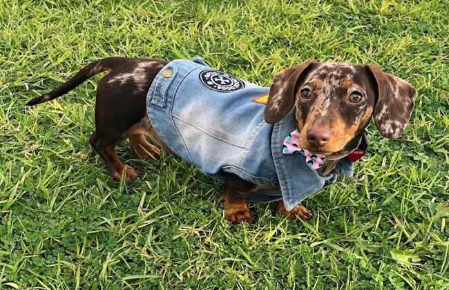 Dapple Dachshund puppy photo