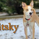 pitsky dog breed