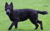Blue-German-Shepherd-Photo