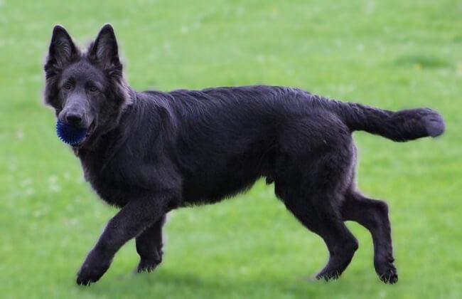Blue-German-Shepherd-Photo