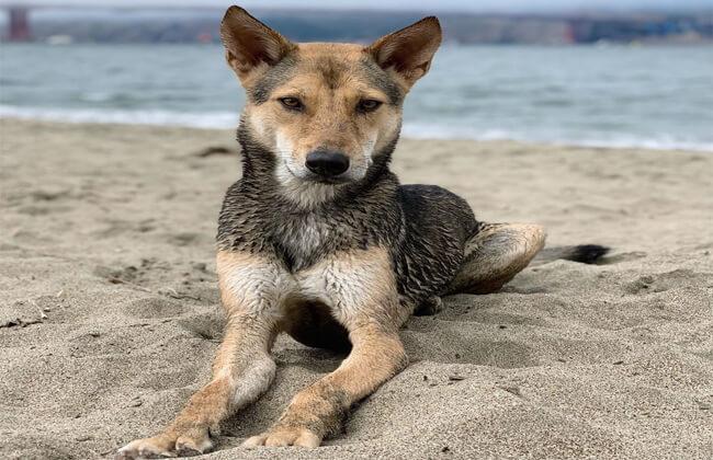 Coydog-puppy-photo