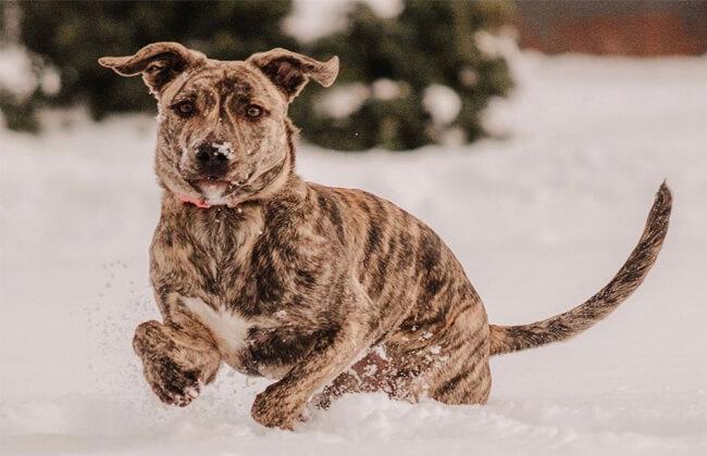 Cute German Shepherd Pitbull Mix photo