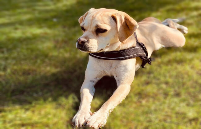 Puggle dog puppy