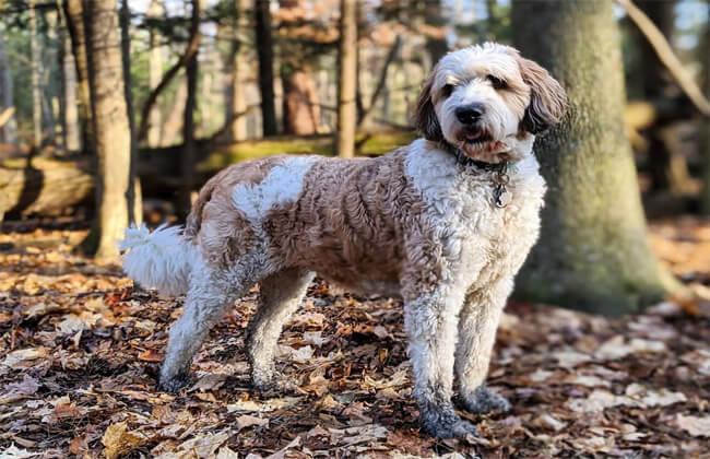 Saint Berdoodle dog photo