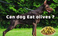 can dog eat olives