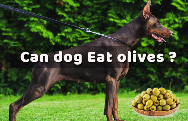 can dog eat olives