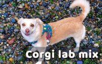 corgi lab mix