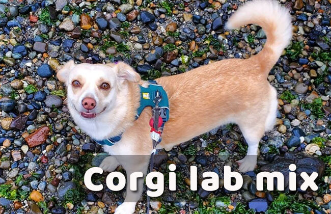 corgi lab mix