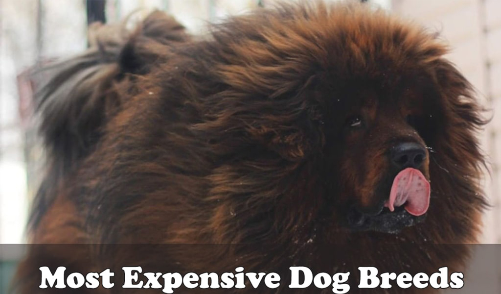 Most Expensive Dog Breeds to Buy