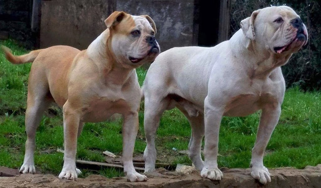American Bulldogs- 2 Dogs
