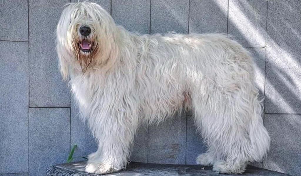 South Russian Ovcharka Dog