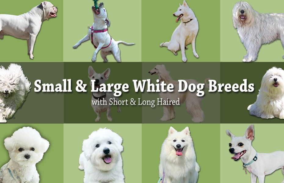 White Dog Breeds