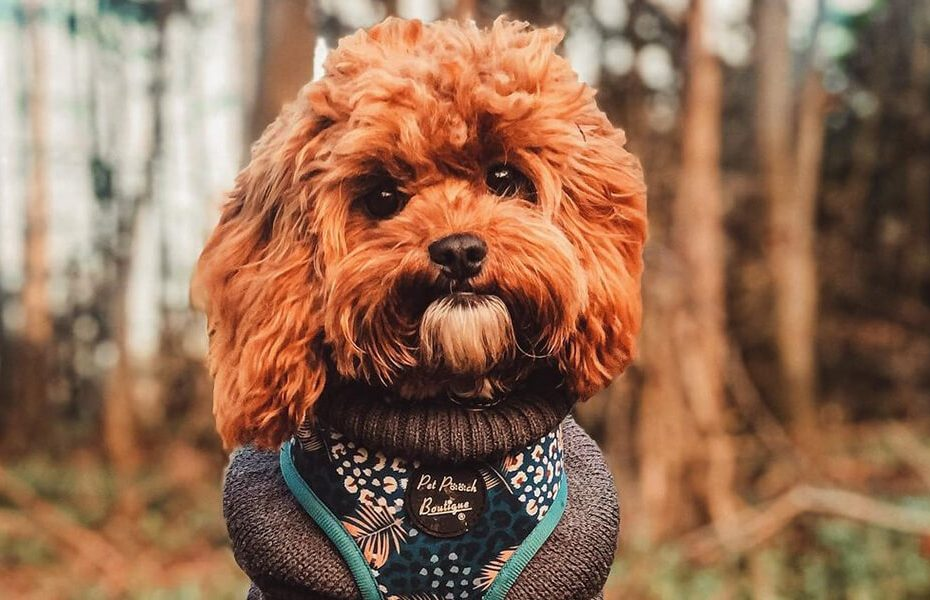 cavapoo mixed dog breed