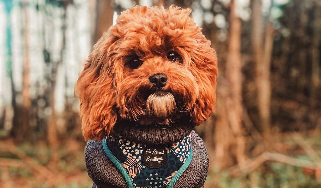 cavapoo mixed dog breed