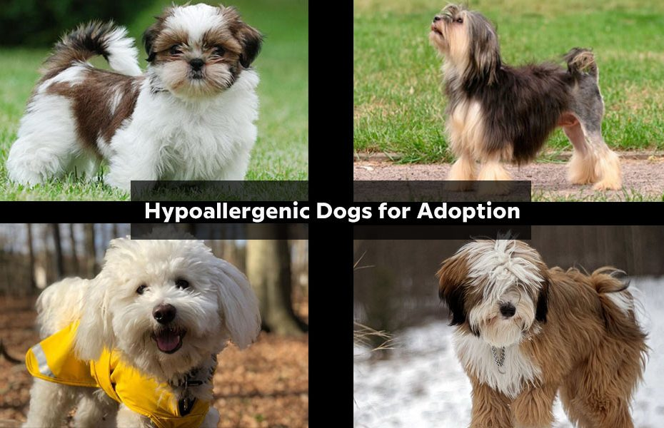 Hypoallergenic Dogs for Adoption