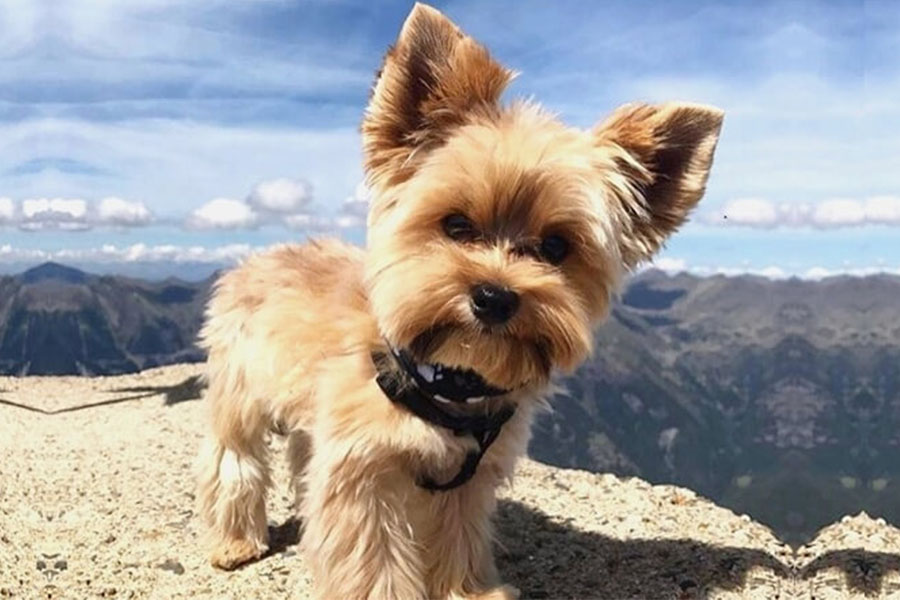 yorkshire terrier standing on rock