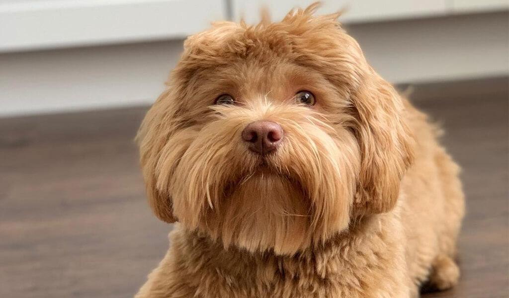 shih poo puppy