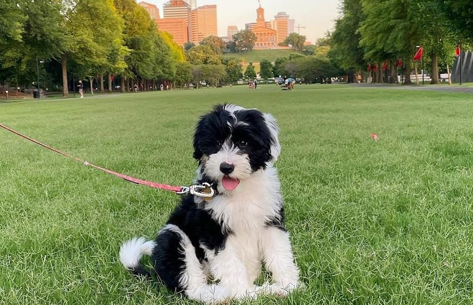 Sheepadoodle Puppies Caring and Training