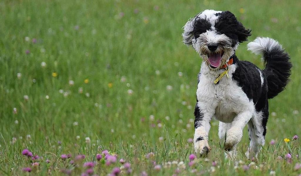 Sheepadoodle Puppy Training