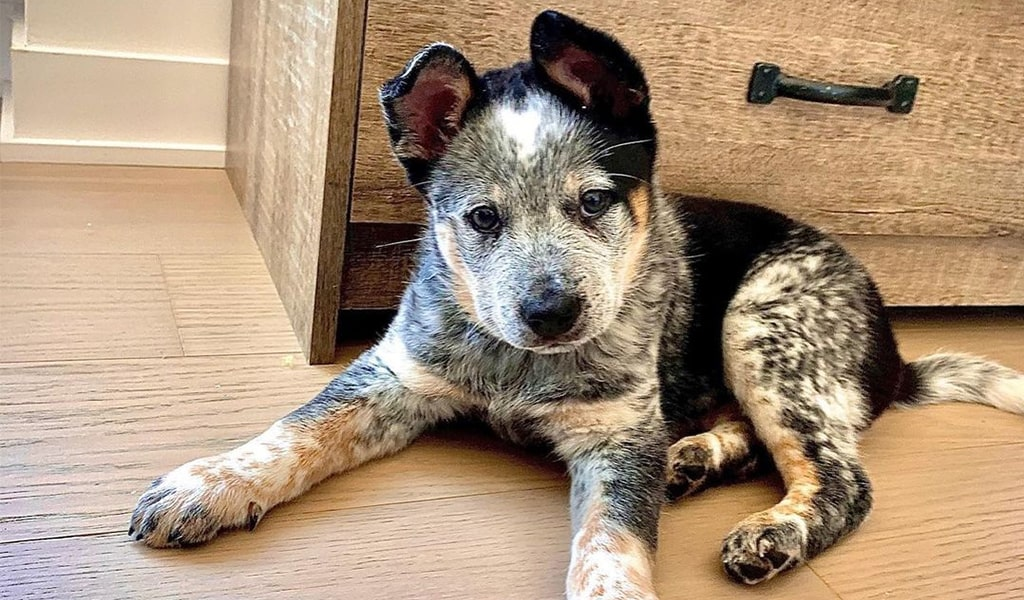 texas heeler puppy
