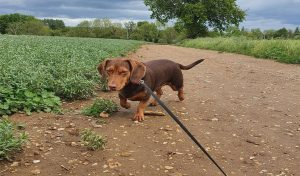 Dachshund Beagle Mix Breed
