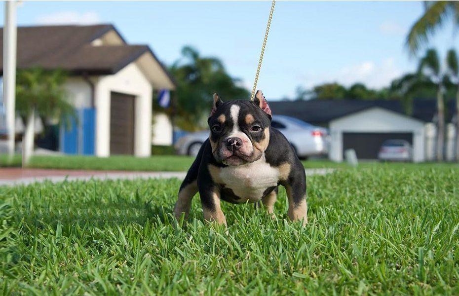 Pocket Pitbull Dog Breed